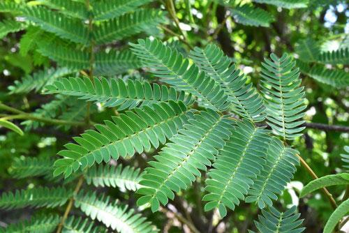 庭木図鑑 植物ペディア